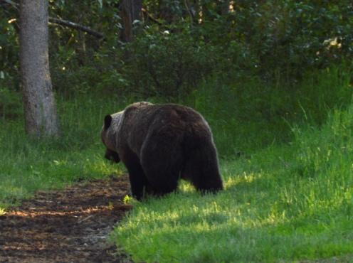 Foto Renato Weil/A Casa Nomade.2019.Alberta.Parque Nacional Jasper.Grizzly Bear
